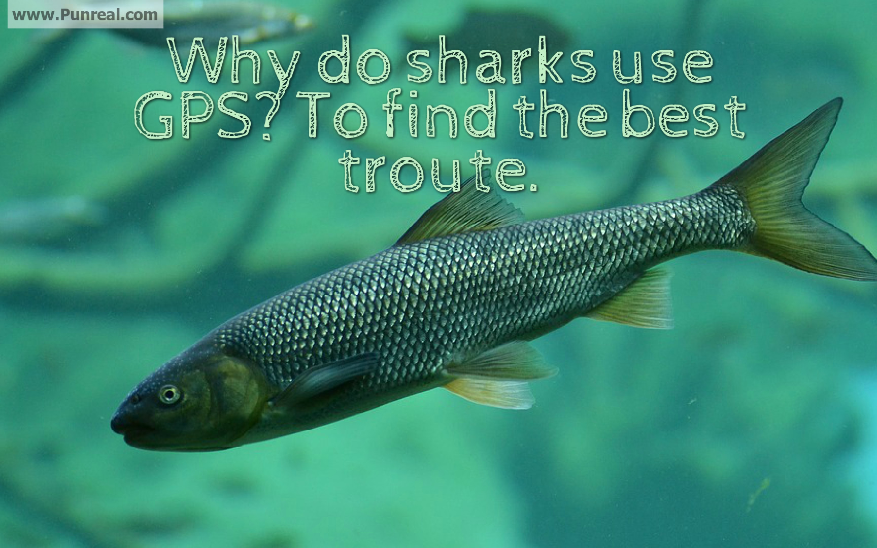 Why do sharks need GPS? To find the best troute.
