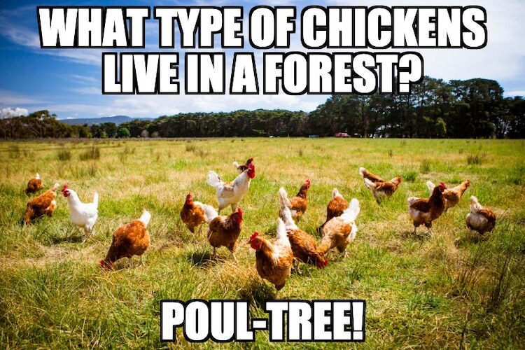"Chicken's in a field with text that says ""What type of chickens live in a forest? Poul-Tree"""